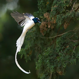 PARADISE FLYCATCHER by Subramanniyan Mani - Animals Birds