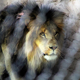 Mean but Beautiful by Anna Tripodi - Animals Other ( predator, lion, beautiful, hungry )