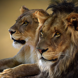 Duo by Shawn Thomas - Animals Lions, Tigers & Big Cats