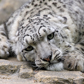 Snow Leopard by Ralph Harvey - Animals Lions, Tigers & Big Cats ( wildlife, ralph harvey, marwell zoo, snow eopard, animal )