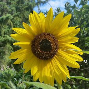 Sunny flower by Anthony Carlo - Flowers Single Flower (  )