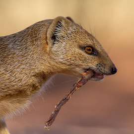 by Francois Loubser - Animals Other Mammals