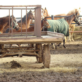 Scared Horses by Yvonne Collins - Animals Horses ( animals, horses, horses on an amish farm, scared, photography )