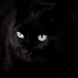 Eyes by Hilda van der Lee - Animals - Cats Portraits ( cat, blue, green, close up, portrait, eyes )