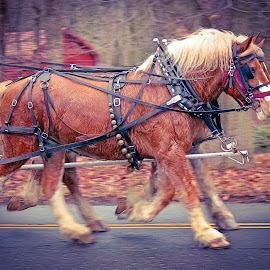 On the move by Sue Delia - Animals Horses ( draft horses, moving, horses, team, carriage horse )