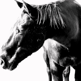 B&W horse by David Shayani - Animals Horses ( olympus e300, san diego, north america, black and white, horse, picasa photo editor, west coast, oceanside ca, stable, portrait, united states of america, camp pendleton )
