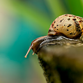 Timid Snail by Alfonso Rahardja - Animals Other (  )