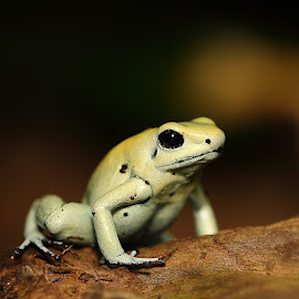 Prète à bondir by Gérard CHATENET - Animals Amphibians