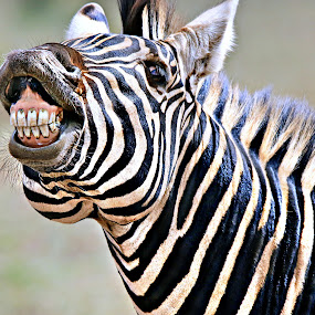 LOL by Pieter J de Villiers - Animals Other ( mammals, animals, kruger national park, other, south africa, zebra stallion, zebra, africa, portrait )
