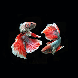 twin betta butterfly by Abdul Azis F H - Animals Fish