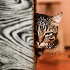 Jurica :) by Jurica Žumberac - Animals - Cats Portraits ( kitten, cat, indoor, pet, beautiful, friend )