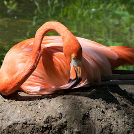 Preening Flamingo by Timothy Crane - Novices Only Wildlife ( bird, zoo, flamingo, pennsylvania, pittsburgh zoo )