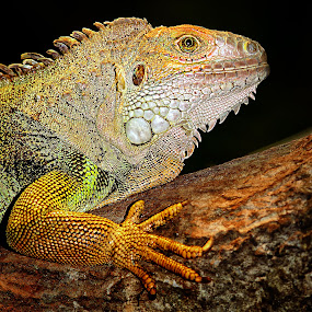 Madame iguane by Gérard CHATENET - Animals Reptiles