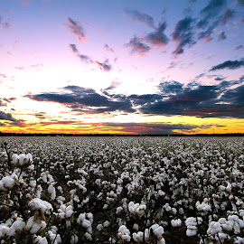 Cotton Field After Glow by Renee C - Landscapes Prairies, Meadows & Fields