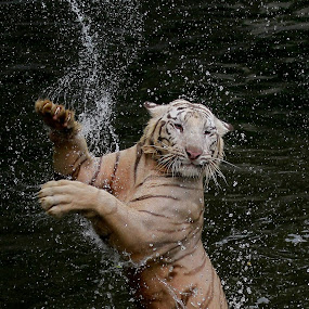 Ballerina with Claws.... by Baron Danardono Wibowo - Animals Lions, Tigers & Big Cats
