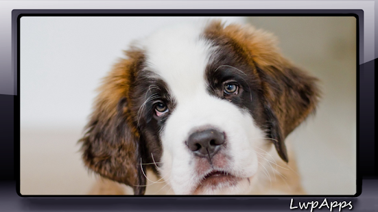 Saint Bernard Wallpaper - screenshot