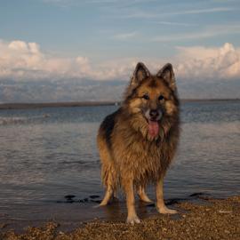 by Suzana Svečnjak - Animals - Dogs Playing ( senior, pets, german shepherd, dogs, summer, sea )