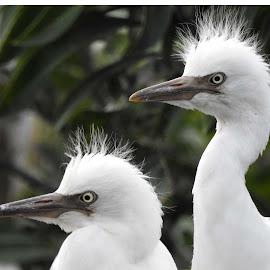 Cattle Egrets by SANGEETA MENA  - Animals Birds