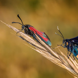 Friends by Roberto Melotti - Animals Insects & Spiders ( wild, butterfly, macro, roberto melotti, butterflies, beautiful, wildlife, nikon d810, insects, close up, closeup, close-up )
