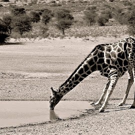 Drinking Giraffe  by Pieter J de Villiers - Black & White Animals