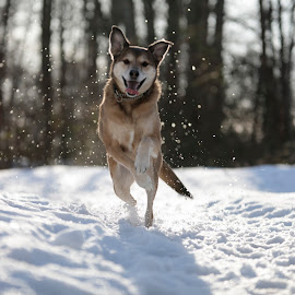 Dakota At Deas Island IV by Xavier Wiechers - Animals - Dogs Running ( winter, happy, collar, snow, playfull, forest, fast, dog, running, jump )
