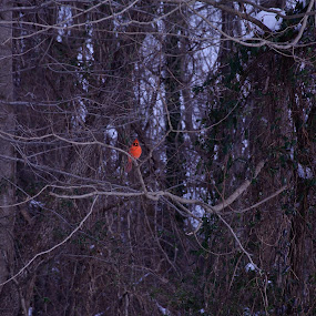 The One Bright Spot by Ann Carper - Animals Birds ( cardinal, mariner point park, dark background, birds,  )
