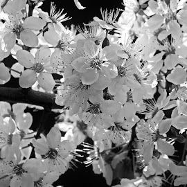 by Estislav Ploshtakov - Black & White Flowers & Plants