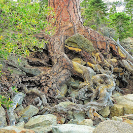 Gnarled Roots at Lake Tahoe by Norma Brandsberg - Nature Up Close Trees & Bushes ( sand, root, green, rocky, california, lake, rock, sandy, landscape, tangle, trunk, tree, color, nevada, tahoe, bush, brown, gnarled, view, rust, rocks )
