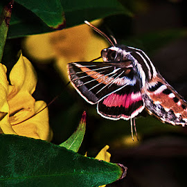 White-lined sphinx moth by David Winchester - Animals Insects & Spiders