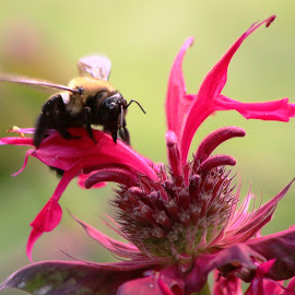 Bee Pink by Roxanne Dean - Nature Up Close Gardens & Produce ( bee, petals, pink, insect, flower )