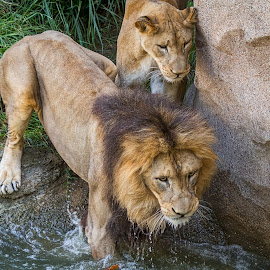 Coming at You by Pat Lasley - Animals Lions, Tigers & Big Cats ( mammals, animals, big cats, zoo, lions )