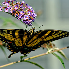 butterfly dreams by Gregory Evans - Animals Insects & Spiders ( butterfly, nature )