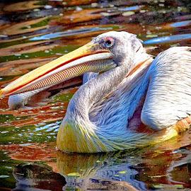 Pelikan by Radu Eftimie - Animals Birds ( pelikan )