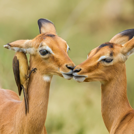 Impala Fawns grooming and not to be outdone an oxpecker by Nobby Clarke - Animals Other