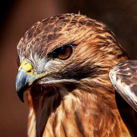 Redtail Hawk by Eric Wellman - Animals Birds ( bird, headshot, hawk )