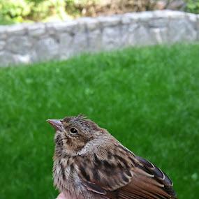 Broken Tiny Visitor by Sandy Hogan - Animals Birds ( young bird, birds, bird watching, bird photography, sparrow )