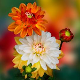 by Carl Sieswono Purwanto - Flowers Flower Arangements