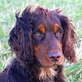 Windblown Cody by Chrissie Barrow - Animals - Dogs Portraits ( cocker spaniel, pet, pup, fur, ears, brown, dog, nose, tan, portrait, eyes )