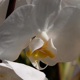 Orchidea  by Alf Winnaess - Uncategorized All Uncategorized