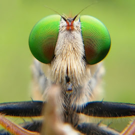 Robberfly by Eko Waluyo - Instagram & Mobile Android ( macrodaily, macro, insect, close up, photography )