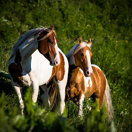 lovers by Philippe Lacroix - Animals Horses