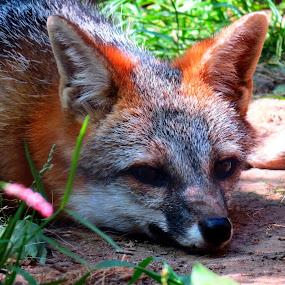 Fox by Erika  Kiley - Novices Only Wildlife ( fox, nap, fur, brown, mammal )