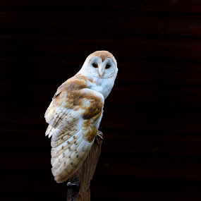 barn owl by Bea Welsh - Animals Birds ( bird, bird of prey, stump, barn, wings, dark, owl, eyes,  )