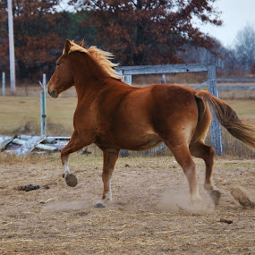 Horse of coarse by Ken Orr - Animals Horses ( gallop, horse, running,  )