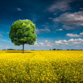 Lonely tree in yellow by Luka Balković - Landscapes Prairies, Meadows & Fields ( countryside, old, single, broad, one, land, solitude, lone, beauty, leaf, space, landscape, spring, sky, tree, nature, oak, empty, ecology, lonely, tall, copy, solitary, peaceful, symbol, emptiness, strength, beautiful, horizon, rural, field, rapeseed, environment, season, strong, peace, mighty, meadow, summer, endangered, cloud, branch, big, natural )