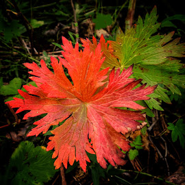 Changing To Autumn by Patricia Phillips - Nature Up Close Leaves & Grasses ( alaska leaves changing autumn )
