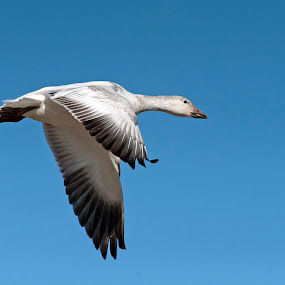 Snow Geese Migration 1 by Cody Hoagland - Animals Birds