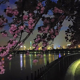 It's the end of the cherry blossoms this season 🌸 by Kelly Kopp - Instagram & Mobile iPhone ( city at night, street at night, park at night, nightlife, night life, nighttime in the city )