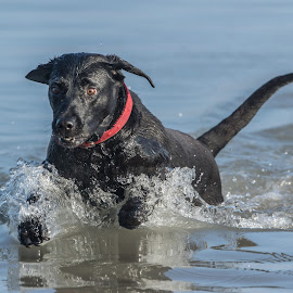 Lucy by Peter Hallam - Animals - Dogs Playing ( sea, labrador, dog, swimming, coast )
