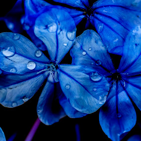 Blue dream by Fotugraphar Quazi - Nature Up Close Flowers - 2011-2013